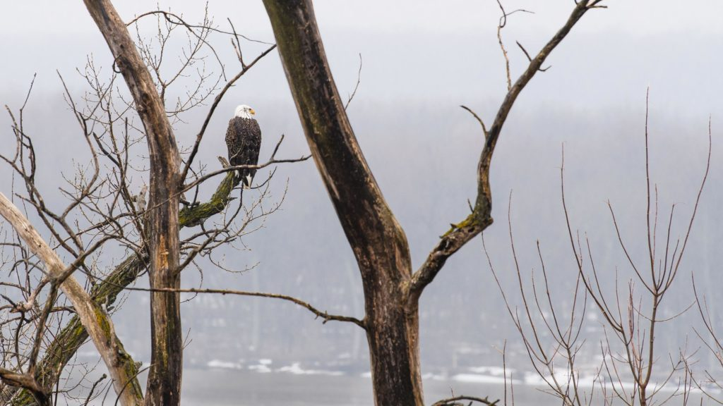 A bald eagle sits in the trees looking out over the Mississippi River from Wisconsin near Prescott.