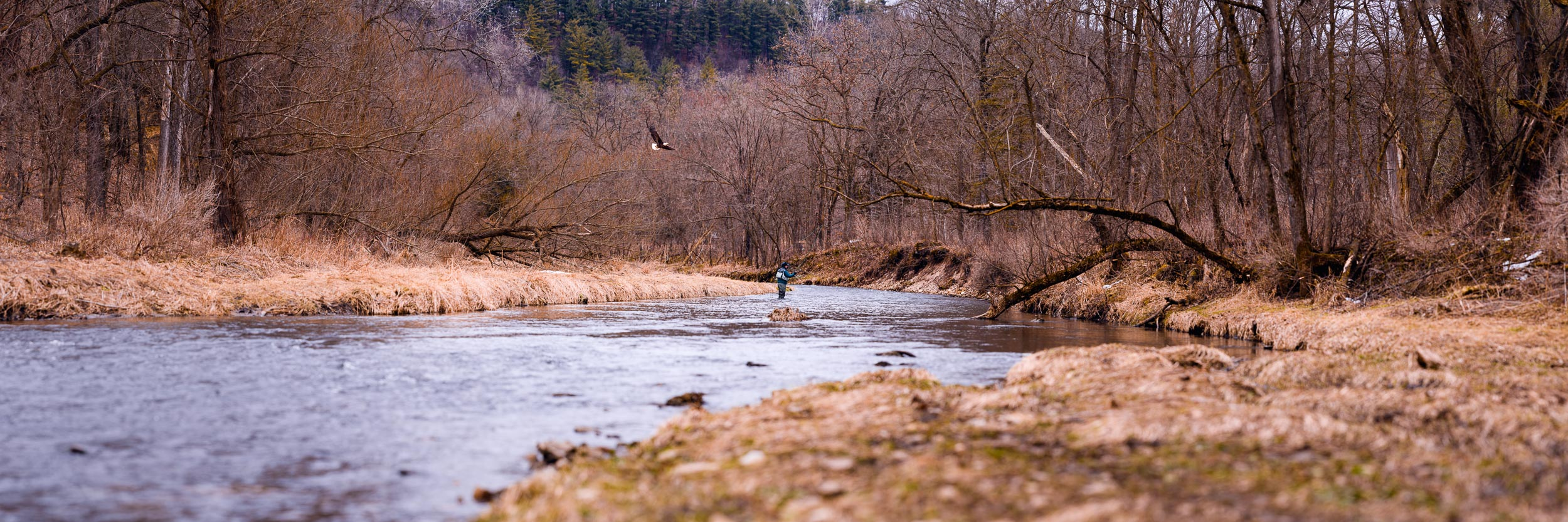 A bald eagle floats past a fisherman looking for trout in the Whitewater River.